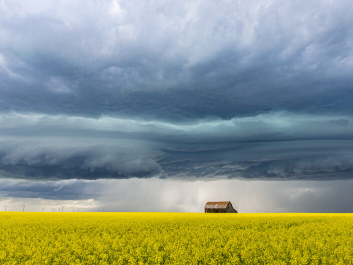 A storm landscape with dark clouds in the sky, a small red barn on the horizon, and yellow canola growing in the foreground.
